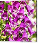 Colorful Foxglove Flowers Acrylic Print