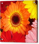 Colorful Gerber Daisies Acrylic Print