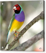 Colorful Gouldian Finch Acrylic Print