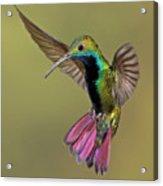 Colorful Humming Bird Acrylic Print by Image by David G Hemmings