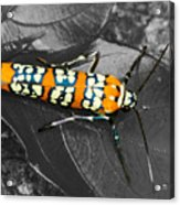 Colorful Insect - Ornate Bella Moth Acrylic Print