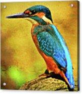Colorful Kingfisher Acrylic Print