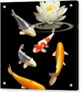 Colorful Koi With Water Lily Acrylic Print