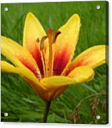 Colorful Lily Dew Drops Acrylic Print