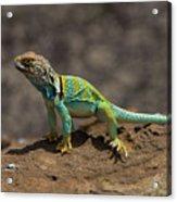 Colorful Lizard Acrylic Print