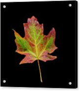 Colorful Maple Leaf Acrylic Print