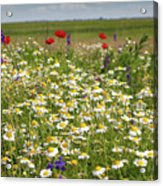 Colorful Meadow With Wild Flowers Acrylic Print