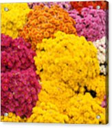 Colorful Mum Flowers Fine Art Abstract Photo Acrylic Print