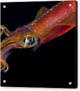 Colorful Oval Squid Acrylic Print by Dave Fleetham - Printscapes