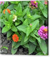 Colorful Pink And Orange Flowers In Green Leaves Bush In The Garden. Acrylic Print