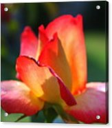Colorful Rose Acrylic Print