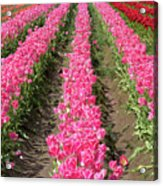 Colorful Rows Of Tulips Acrylic Print