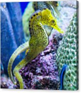 Colorful Seahorses Acrylic Print