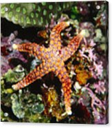 Colorful Seastar Laying On Cean Reef Acrylic Print by James Forte