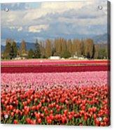 Colorful Skagit Valley Tulip Fields Panorama Acrylic Print