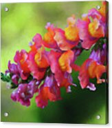 Colorful Snapdragon Acrylic Print