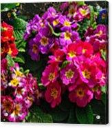 Colorful Spring Primrose By Kaye Menner Acrylic Print
