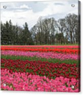 Colorful Tulips Blooming At Tulip Festival Acrylic Print