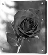 Colorless Rose Acrylic Print