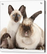 Colorpoint Rabbit And Siamese Kitten Acrylic Print