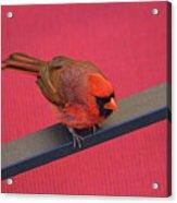 Colour Me Red - Northern Cardinal - Cardinalis Cardinalis Acrylic Print