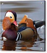 Colourful Duck Acrylic Print
