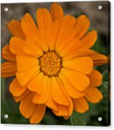 Colourful Orange Signet Marigold  Acrylic Print