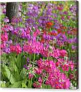 Colourful Primula Candelabra At Wisley Gardens Surrey Acrylic Print