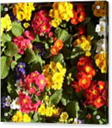 Colourful Spring Flowers Acrylic Print