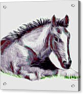 Colt Acrylic Print