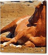Colt Lying Down Acrylic Print