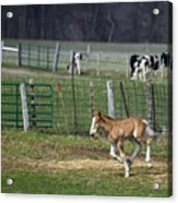 Colt Play With Hay Acrylic Print