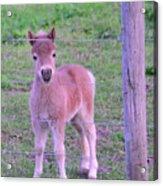 Colt Pony Acrylic Print