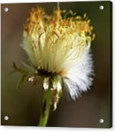 Coltsfoot Bad Hair Day 1 Acrylic Print