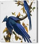 Columbia Jay, 1830, Acrylic Print