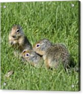 Columbian Ground Squirrels Acrylic Print