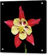 Columbine - Aquilegia - Mckana's Giant 002 Acrylic Print