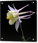 Columbine Acrylic Print by Barry Culling