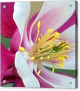 Columbine Flower 2 Acrylic Print