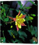 Columbine Outstanding Red Yellow  Acrylic Print