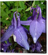 Columbines And Raindrops Acrylic Print