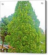 Columnar Oak Along White Pine Trail In Kent County, Michigan  Acrylic Print