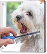 Combing Beards Of The White Dog Acrylic Print