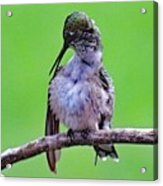 Combing His Feathers - Ruby-throated Hummingbird Acrylic Print