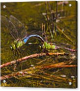 Come Along With Me Dragonflies Acrylic Print