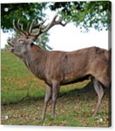 Come On Deer Acrylic Print