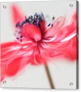 Comes With A Bow. Acrylic Print