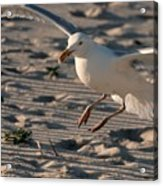 Coming In For A Landing - Jersey Shore Acrylic Print
