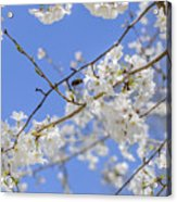 Coming Of Spring Acrylic Print