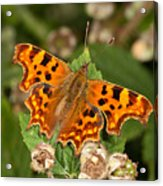 Comma Butterfly Acrylic Print